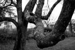 Membre d'arbre Photos libres de droits
