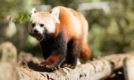Membre d'arbre rouge de Panda Wild Animal Walking Down Images stock