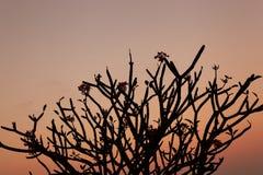 Membre de frangipani de silhouette photographie stock
