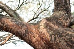 Membres d'arbre en Afrique Images stock