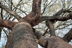 Membres d'arbre entrelacés en Afrique Image stock