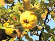 Membrillo amarillo en un árbol en un día Imagen de archivo libre de regalías