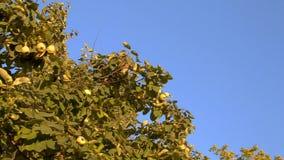 Membrillo en el árbol