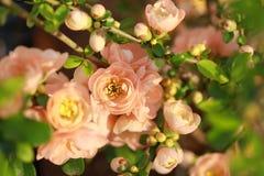 Membrillo floreciente Fotos de archivo libres de regalías