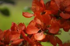 Membrillo floreciente Imagenes de archivo