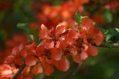Membrillo floreciente Fotografía de archivo libre de regalías