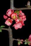 Membrillo floreciente japonés Fotografía de archivo libre de regalías