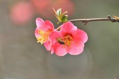 Membrillo japonés del flor Foto de archivo libre de regalías