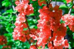 Membrillo japon?s floreciente de muchas flores coloridas hermosas