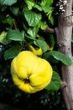 Membrillos amarillos grandes maduros de la manzana que cuelgan en un árbol de la rama en un Gard Fotografía de archivo libre de regalías