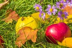 Membrillos amarillos y manzana roja entre asteres púrpuras con las abejas Foto de archivo libre de regalías