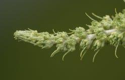 Membro del Bush di farfalla prima di fioritura Immagine Stock Libera da Diritti