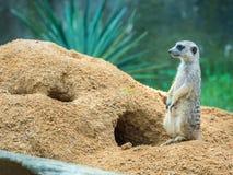 Membro della famiglia di Meerkat in guardia Fotografia Stock