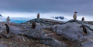 Membros da colônia dos pinguins de Gentoo que estão nas rochas foto de stock royalty free