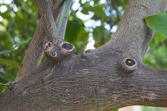 Membros de árvore do limão fotos de stock