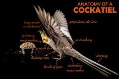 Meme, Anatomy Of A Cockatiel, sarcastic funny bird memes