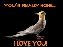 Meme, Parrot Quote, Cockatiel very cute happy crest down, smiling, happy face in studio on a reflective surface, I love you. Quote royalty free stock image