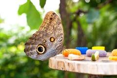 Memnon de Caligo de la mariposa del búho que come el zumo de fruta imagen de archivo