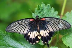 Memnon de Papilio, gran mormón Imagen de archivo libre de regalías