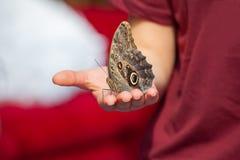 Memnon di caligo della farfalla del gufo a disposizione Immagine Stock