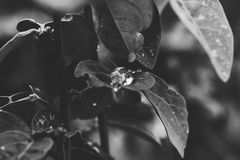 Memoir of rain. A droplets on leaves in black and white in malaysian tropical weather Stock Photos