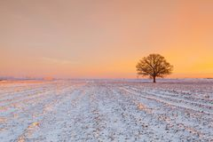Memorable tree on the field in the frosty morning. Amazing winter landscape royalty free stock photo