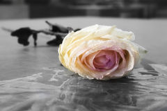 In memorandum. A rose abandoned on the Jews murdered memorial in Berlin royalty free stock photography