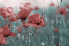 Memorial day background with wild poppy field. And copy space royalty free stock photo