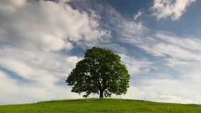 Memorial maple tree on the mystic place. Gallows Hill - Memorial maple tree on the mystic place in Votice, Czech Republic stock footage