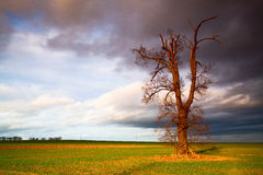 Memorial tree on the empty field before heavy storm Royalty Free Stock Photography