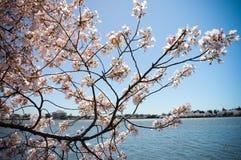 Memoriale del Jefferson tramite i fiori di ciliegia Immagine Stock