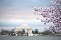Memoriale di Cherry Blossoms Framing The Jefferson Immagine Stock Libera da Diritti