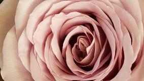 Memorie Lane  Rose Royalty Free Stock Photos