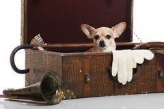 Memories in a box. Close up of chihuahua in a vintage suitcase Stock Photo