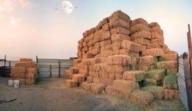 Memorizzi le pecore dell'alimentazione (trifoglio dei legami) Fotografia Stock Libera da Diritti
