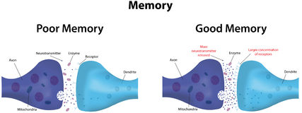 Memory. Depression and potentiation diagram Stock Image