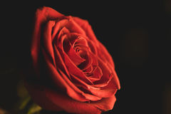 Memory never erased. Bright red rose on black background stock images