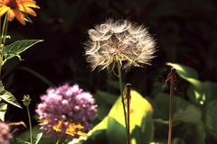 The memory of summer- dandelion flower against the background of an ordinary summer flowers on a clear day Stock Images