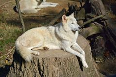 Memphis Zoo - Wolf Lizenzfreie Stockfotografie