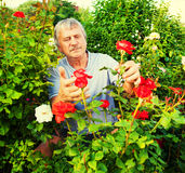 Men caring for roses in the garden Stock Photos