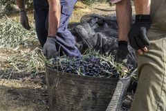 Male hands holding a basket full of harvested olives. Two men carry a basket full of olives just harvested for olive oil production in Jaén province, South of Stock Photos