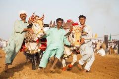 Men controlling bulls at a tarditional punjabi bull race competetion royalty free stock photos