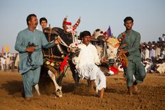 Men controlling bulls at a tarditional punjabi bull race competetion. Men controlling bulls at a bull race competetion. Traditional bull race rural areas one royalty free stock images