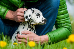 Men with dalmatian puppy Royalty Free Stock Image