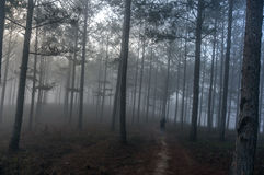 The men in fogging pine forest and the sun at Dalat- Vietnam Royalty Free Stock Image