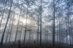 The men in fogging pine forest and the sun at Dalat- Vietnam stock photography