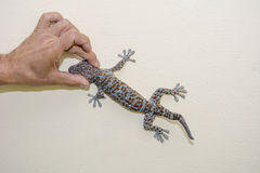 Men hand holding a gecko head royalty free stock photography