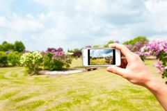 Men hand holding mobile smart-phone for lilac garden photographi. Men hand making snapshots of lilac syringa garden with modern mobile smart-phone. Multicolored Royalty Free Stock Image