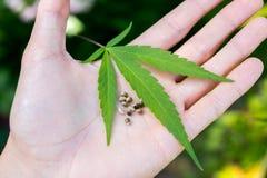 Weed marijuana cannabis seed leaf hand man drug. Men hand with leaf and seed cannabis weed royalty free stock image