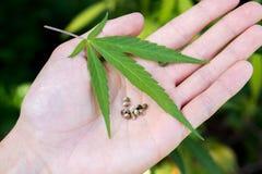 Weed marijuana cannabis seed leaf hand man drug. Men hand with leaf and seed cannabis weed stock photography